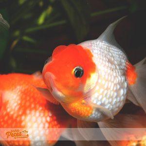 comida barata para goldfish
