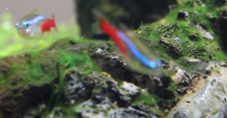 Alga azul como eliminar cianobacteria del acuario